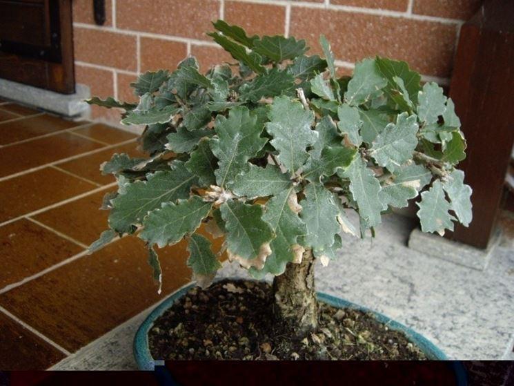 Stile di bonsai di quercia
