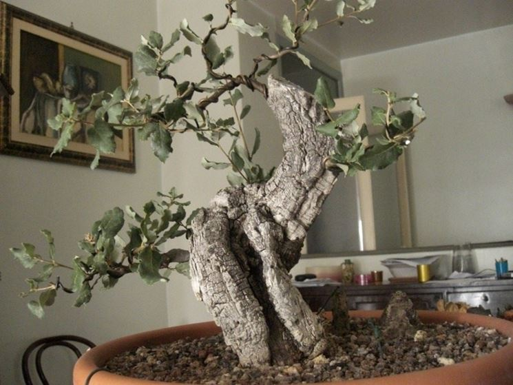 Bonsai di quercus suber