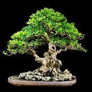 Bonsai di Ficus microcarpa