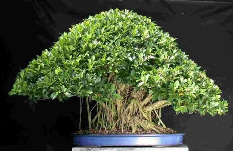 Bonsai ficus microcarpa attrezzi e vasi per bonsai for Piante per bonsai