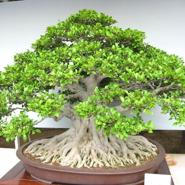 Bonsai ficus microcarpa attrezzi e vasi per bonsai for Bonsai vasi
