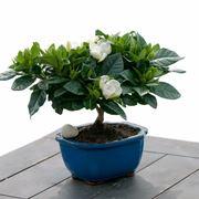 Un esempio di bonsai di gardenia