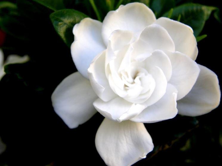Un bellissimo fiore di gardenia bianca