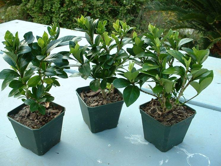 Giovani bonsai di gardenia non ancora fioriti