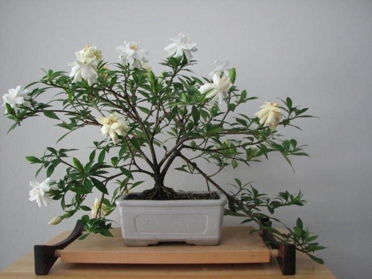 Un esempio di bonsai di gardenia prima della potatura