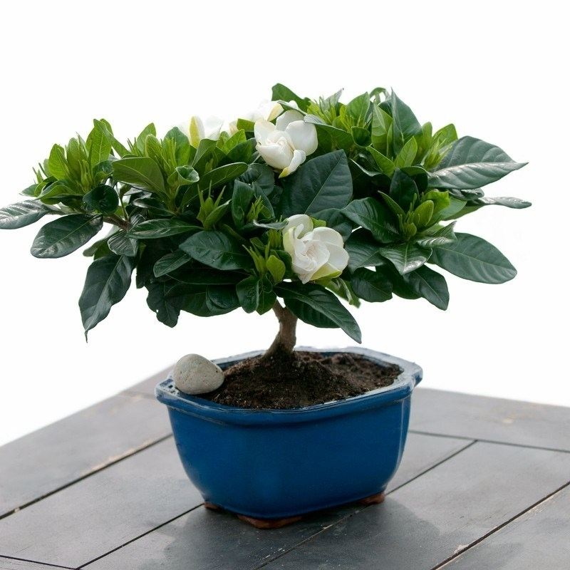 Bonsai gardenia piante appartamento attrezzi e vasi - Gardenia pianta da interno o esterno ...