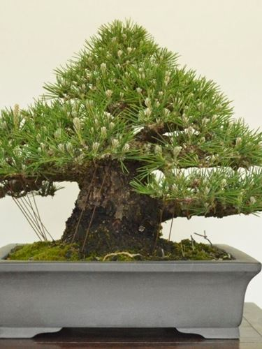 Bonsai giapponese attrezzi e vasi per bonsai bonsai for Bonsai vasi