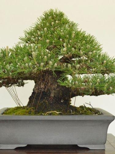bonsai pino nero giapponese