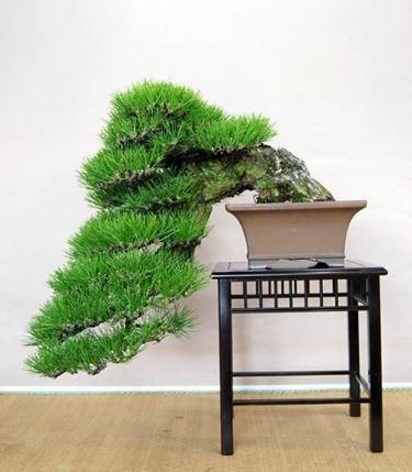 kengai bonsai crescita