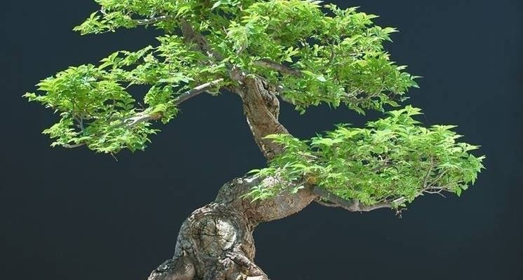 Mohoyogi pianta bonsai