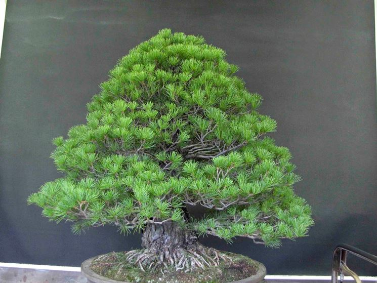 chokkan bonsai pianta