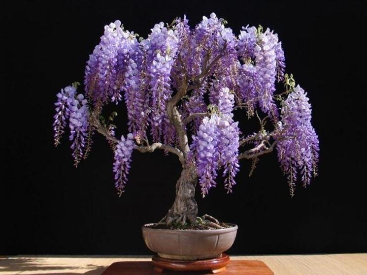 Bonsai glicine attrezzi e vasi per bonsai consigli per