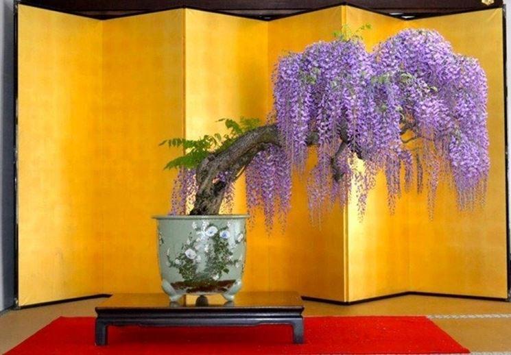 Bonsai di glicine in piena fioritura