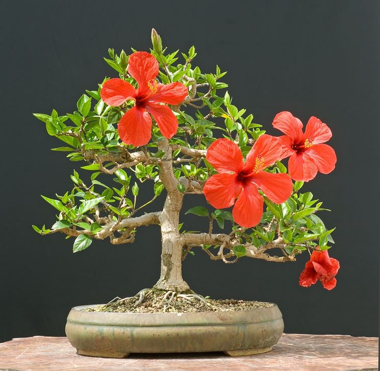 Bonsai hibiscus attrezzi e vasi per bonsai for Piante per bonsai