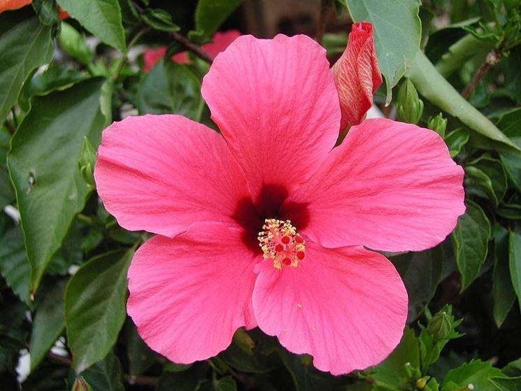 Fiore di hibiscus