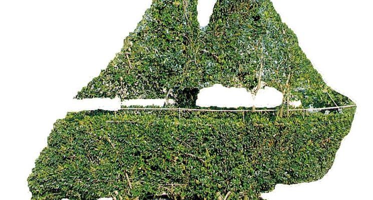Particolare potatura di bonsai Ligustro