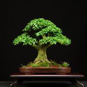 Bonsai Ligustrum vulgare