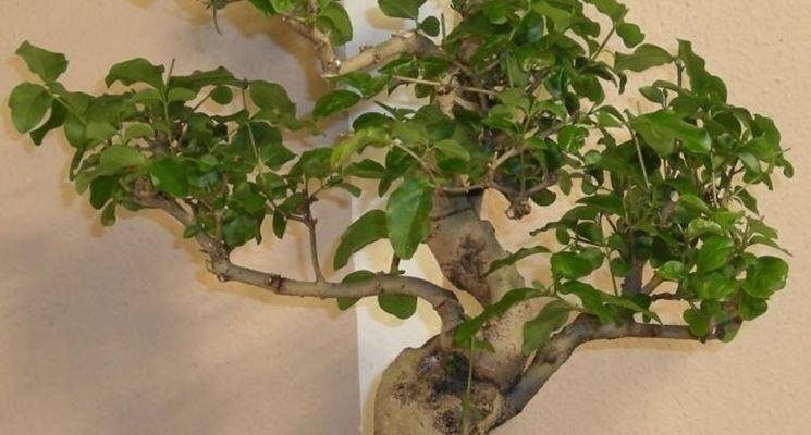 Bonsai Ligustrum japonicum