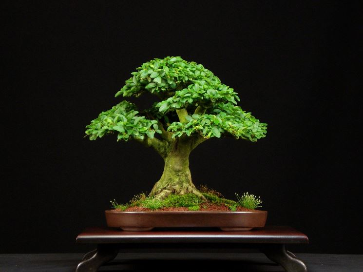 Bonsai Ligustrum vulgare