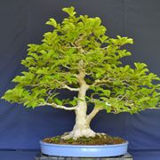 Bonsai magnolia non fiorito