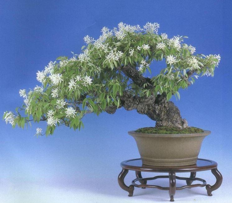 Bonsai magnolia fiorito