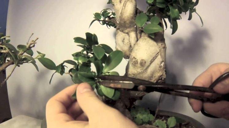 Potatura del bonsai magnolia