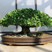 Attrezzi e vasi per bonsai for Vasi per bonsai prezzi