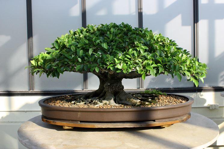 Un esemplare di ficus bonsai in salute