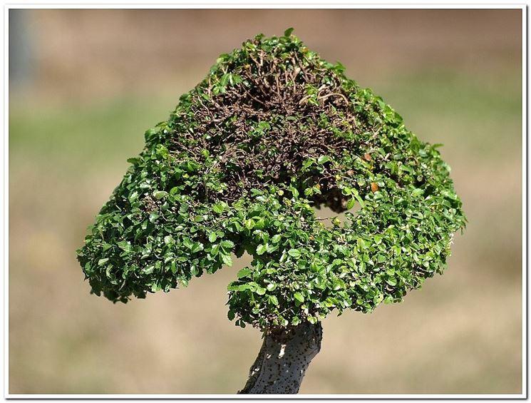 Chioma di un bonsai esposta per troppo tempo al sole diretto