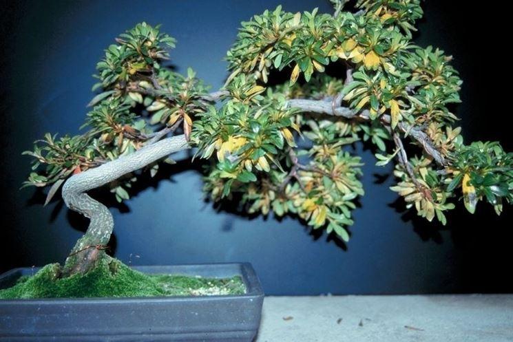 Bonsai con grave perdita di foglie