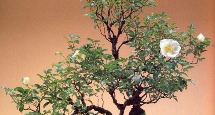 Rosa bianca bonsai