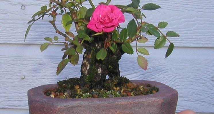 Piccolo bonsai di rosa