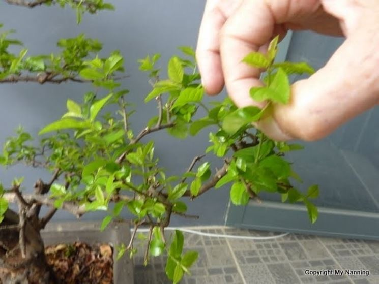 Pinzatura del fogliame del bonsai