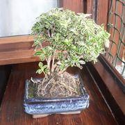 Un bonsai di serissa variegata