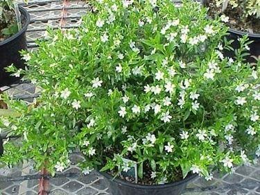 Una pianta di serissa al naturale