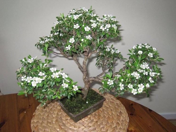 Un bonsai di serissa fiorito