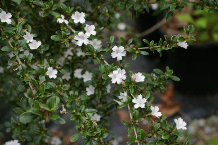 Rami fioriti di serissa