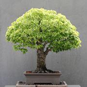 Un esemplare di bonsai di zelkova