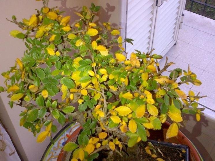 Un esemplare di bonsai di zelkova dalle foglie gialle