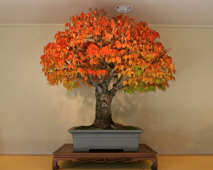 Un bonsai di zelkova le cui foglie hanno assunto la tipica colorazione autunnale