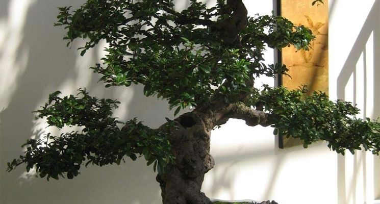Carmona bonsai attrezzi e vasi per bonsai for Bonsai vasi