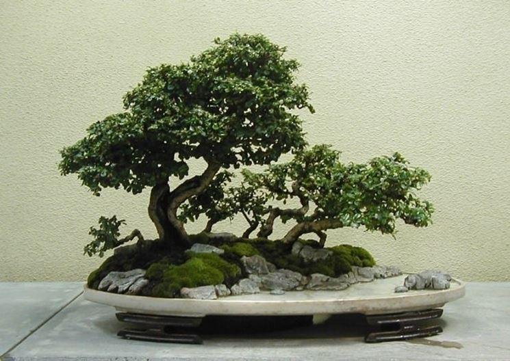 Esemplare di bonsai di Carmona microphylla