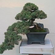 Cipresso bonsai educato