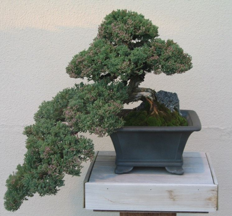 Cipresso bonsai attrezzi e vasi per bonsai bonsai di for Bonsai vasi