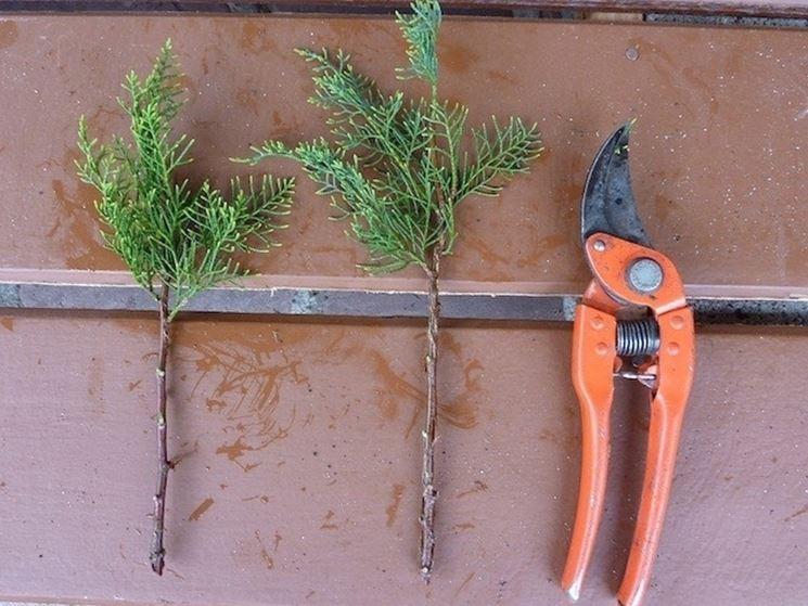 Talee di cipresso bonsai