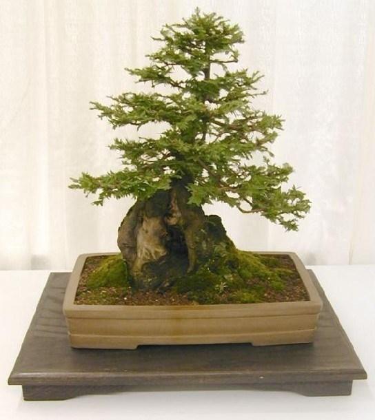 Cipresso bonsai attrezzi e vasi per bonsai bonsai di for Vasi per bonsai grandi