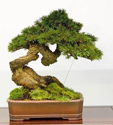 Piccolo bonsai