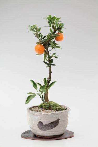 Mandarino bonsai con i frutti
