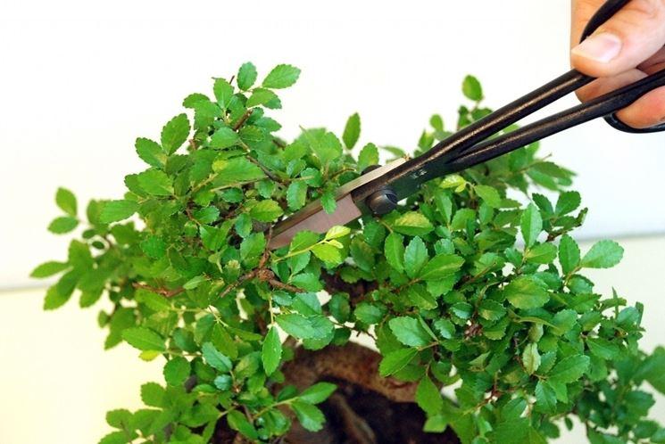 Taglio delle foglie del bonsai