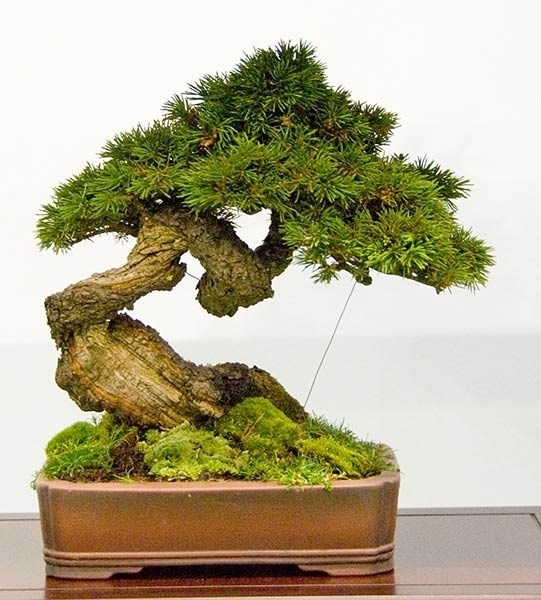 Coltivare bonsai attrezzi e vasi per bonsai come for Bonsai vasi